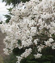Star Magnolia- Magnolia stellata image 2