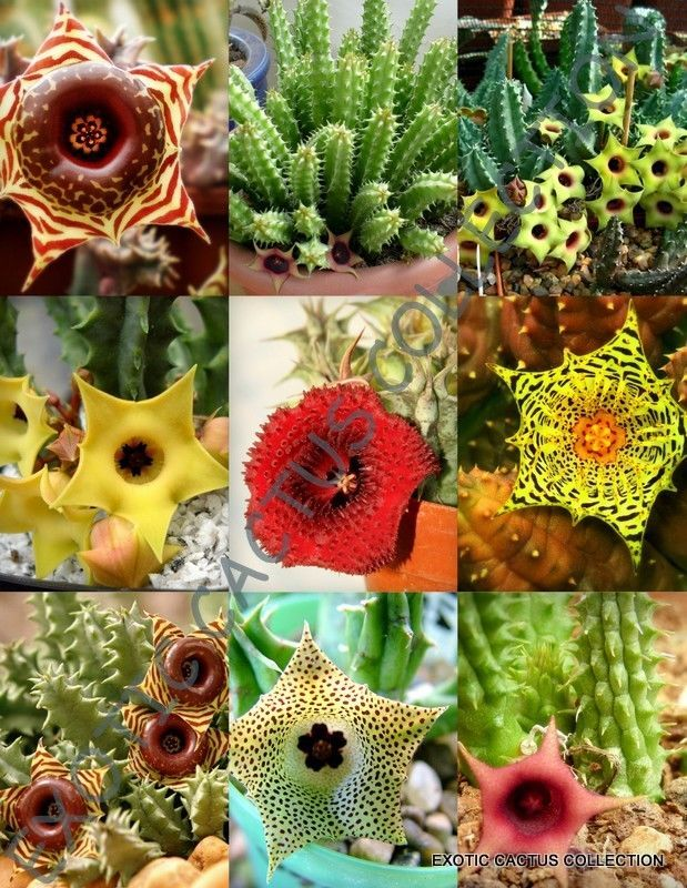 Primary image for SHIPPED From US_5 SEEDS HUERNIA MIX-variety stapelia exotic succulent plant-EC