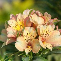 40 Light Orange Alstroemeria Lily Seeds Flower Seed Peruvian Perennial -... - $23.95