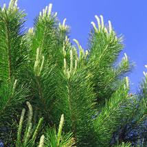 30 Seeds, Scotch Pine/Pinus sylvestris (ds) - $12.95