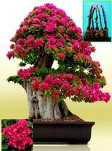"""5 Green Bougainvillea """"Mahara Magic"""" Tree Cutting - $26.78"""