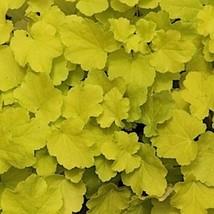 5 Heuchera ' Citronelle ' - Coral Bells - Live Plant - Alumroot - Perennial - $37.32