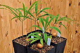 Multipinnate Sago Palm - Live Plant in a 4 Inch Growers Pot - Cycas Deba... - $98.97
