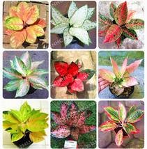 50 Pcs/Bag Aglaonema 'Pink Dud' Beautiful Mosaic Plants Perennial Evergreen - $4.76
