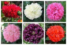 250 seeds - Peony Poppy Mixed Colors Papaver Paeoniflorum Red Pink #SFB15 - $17.99