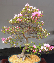 7 Japanese Flowering Cherry Blossom Bonsai Seed... - $2.69