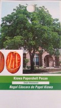 Kiowa Papershell Pecan Tree Shade Trees Live Healthy Plant Large Pecans Nuts Now - $106.21