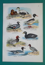 OUR BIRDS Ducks Flamingo Ibis Crane Stork Merganser - Charming COLOR Lit... - $16.65