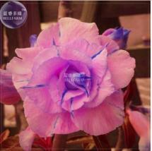 Adenium Pink Petals with Blue Stripe Flower Seeds, 2 seeds, 7-layer big ... - $4.20