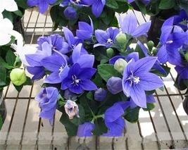 10 Packs Bonsai Purple Platycodon Grandiflorum Seeds, Balloonflower Flower Seeds - $18.50