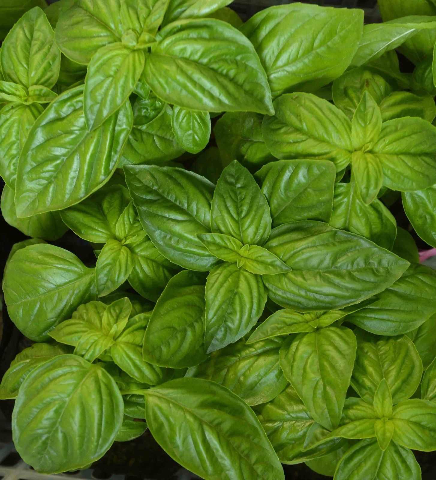Primary image for 400 seeds Genovese Basil Herb, NON-GMO, Heirloom