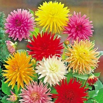 "1201+GIANT CACTUS ZINNIA MIX Flower Seeds 5"" Blooms 6 COLORS Butterfly G... - $8.50"