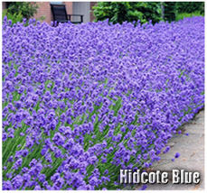 50 Hidcote Blue Lavender Flower/Herb SEEDS - Known for its rich essential oil - $5.50