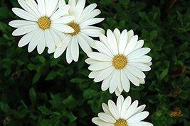 100 Fresh Seeds - African Daisy White Flower - $12.38