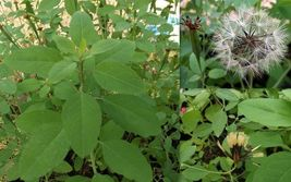 Bolivian coriander, Quillqina, Porophyllum ruderale, 100+ seeds - $8.99