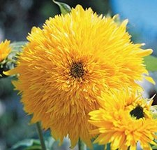Non GMO Sungold Tall Sunflower Seeds (Helianthus annuus) (5 Lbs) - $307.84
