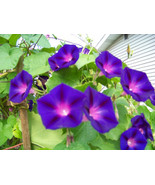 SHIPPED FROM US 190 Morning Glory Ipomoea Pupurea Purple Flowers Seeds, ... - $17.00