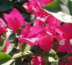 1 Starter Plant -  Bougainvillea 'La Jolla' Potted #GGD9 - $21.99