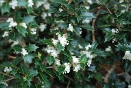 Osmanthus heterophyllus kaori hime 1115 5 1024x1024 2x thumb200