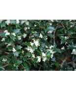 Live Plant Fragrant Princess Dwarf Tea Olive (osmanthus) QuartPot FREESH... - $60.00