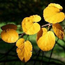 Virginia Roundleaf Birch Tree Seeds (Betula lenta uber) 50 Seeds - $12.99