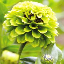50seeds green Classic Zinnia Elegans Flower bonsai Beautiful garden deco... - $2.99
