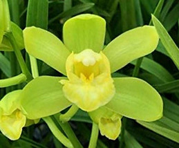 Cym. Picasso Moon 'Green Pastures' Orchid Plant Blooming Size Warm Grower 0512 G image 1