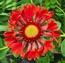1/2 Grams Packets of Gaillardia Flower Plants - $12.77