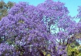 50pcs Blue Flowering Tree Seeds Jacaranda Mimosifolia #SMA1 - $13.99+