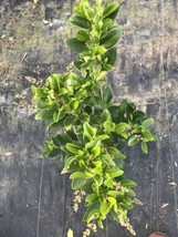 7 Year Old Ligustrum Texas Privet Pre Bonsai - $18.05