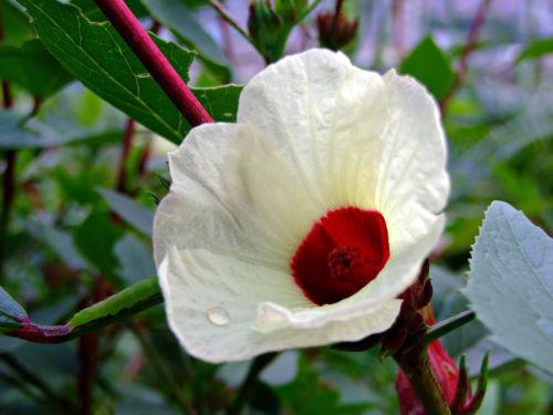 Hibiscus sabdariffa /'Green Senegalese/' 5 seeds