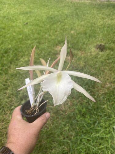 Brassavola Jimminey Cricket 'Gee Whiz' Cattleya Orchid Plant Flowers FRAGRANT
