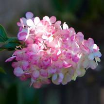 50 Stück Vanille Erdbeer-Hortensie flower seeds Einpflanzen Bonsai Baum ... - $7.32