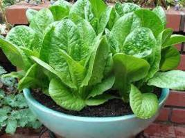 100 pcs Lettuce salad seeds pack for home garden from sri lanka ceylon p... - $3.99