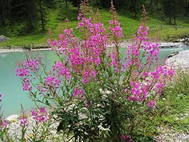 Fireweed Willowherb 100 seeds - $6.93