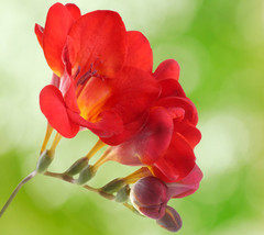 Double Red Freesia 20 Bulbs - Indoors/Out - Fragrant - 6/+ cm Bulbs - $30.99