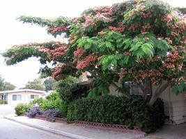 30 Mimosa Silk Tree Albizia julibrissin Seeds (Fast Hardy Showy Fragrant) - $11.99