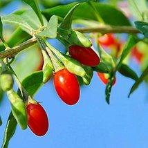 1 Starter Plant Vermilion Sunset Goji Tree - $59.40