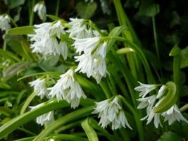 Organic Heirloom 1700 Seeds Chinese leek Garlic chives Chinese chives Ed... - $8.22