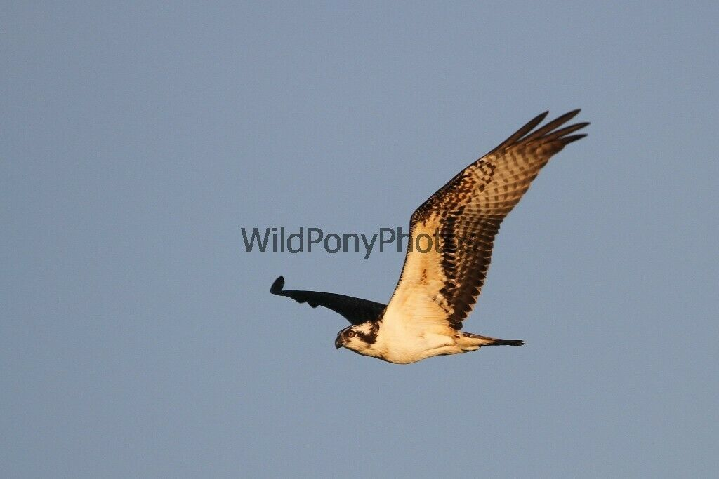 Primary image for Osprey in Flight 1 Photo -  Various Sizes