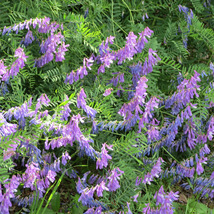Hairy Vetch - Cover Crop Seeds - Yard, Garden & Outdoor Living - Starts Nursery  - $32.00+