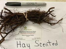 10 Hay Scented Fern clumps(Dennstaedtia punctilobula) image 5