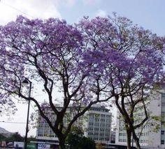 Jacaranda Mimosifolia, Blue Rare Flowering Tree Flamboyan Delonix Seed 10 Seeds - $9.50