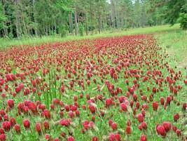 1 OZ=6,000 CRIMSON CLOVER Seeds Ground Cover Garden Food Plot Wildflower... - $5.00