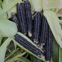 10 Black Corn and 10 White Corn Vegetable Seeds - $3.99