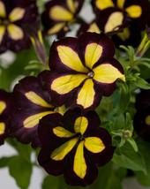 1000 Garden Petunia Grandiflora Hedgiflora Multiflora Mixed Flower Bulk ... - $5.99