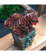 Rosette Succulent Echeveria 'Melaco' Succulent Plants Container for Deco... - $19.99
