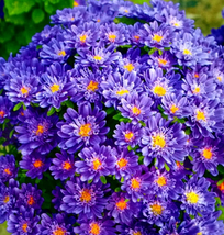 30pcs Very Graceful Blue Round China Aster Flower Seeds IMA1 - $13.99