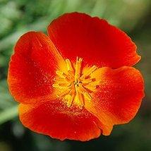Non GMO Bulk California Poppy Seeds - Mikado Eschscholzia californica (5 lbs) - $306.85