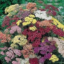 50 seed of Common Yarrow Summer Pastel Flower - $16.71